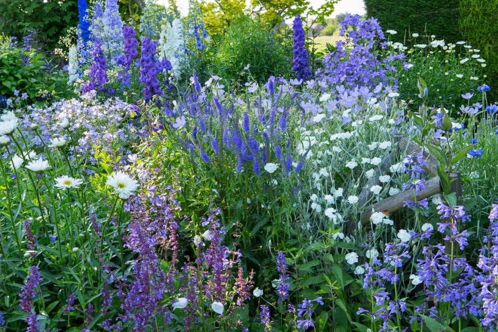 Purple and white border, salvia, delphiniums, Lychnis coronaria 'Alba', Veronica 'Martje', Leucanthemum x superbum 'Aglaia'